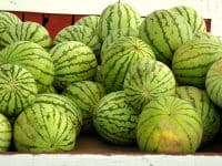 Watermelon Day at State Farmers Market in Raleigh–largest watermelon contest