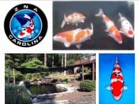 Koi Fish Show