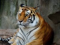 Science Café at NC Museum of Natural Sciences: Tigers in Trouble